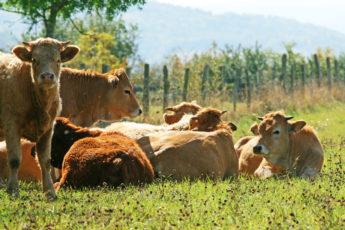 Vaches - Plateau de la Serre - Chadrat © Aurélien Mathevon