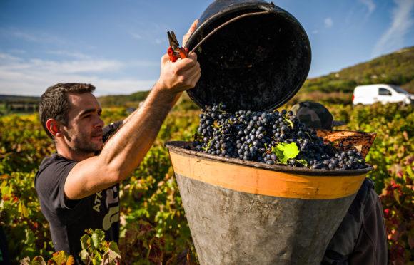Vignes et vendanges - © Desprat Vins - caves St Verny