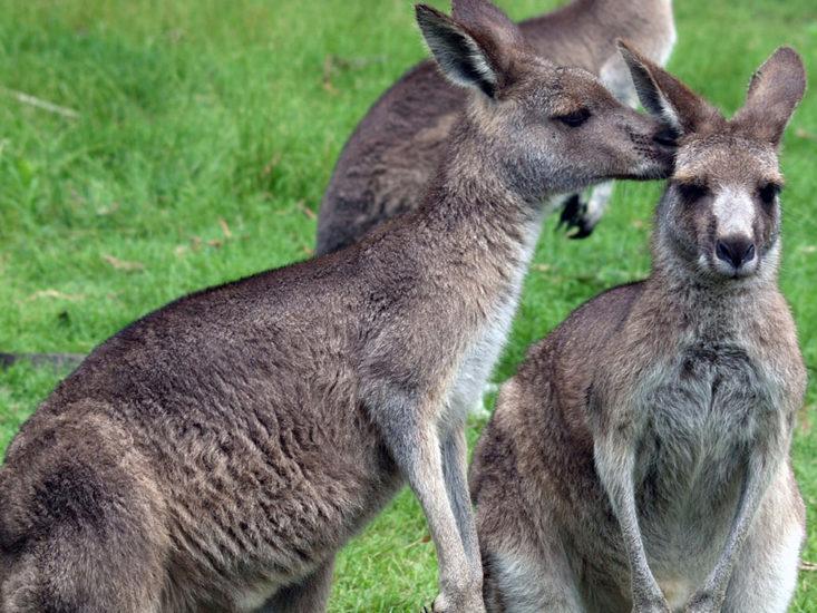 Parc pédagogique des myocators et kangourous à Boissière Saint Nectaire - DR Office de tourisme du Sancy